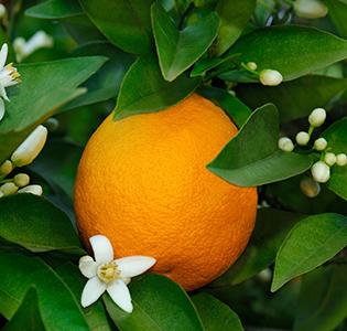 Huiles essentielles à la Fleur d'oranger pas cher