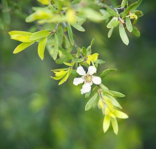 Huile essentielle Tea Tree pour soigner la grippe pas cher